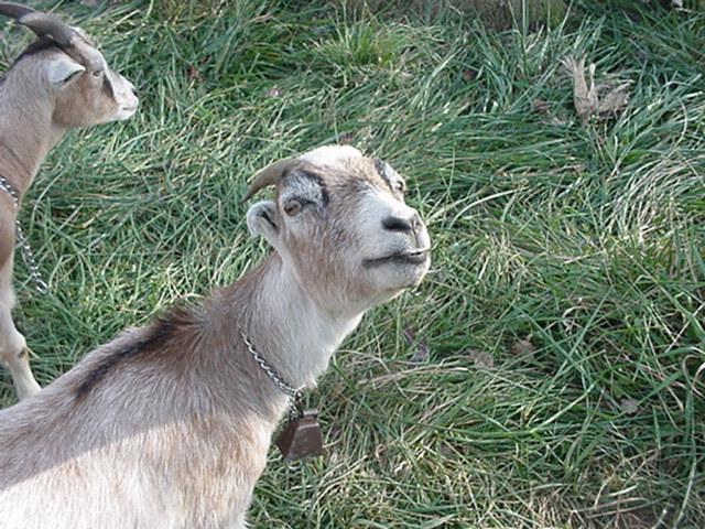 goats_07.jpg